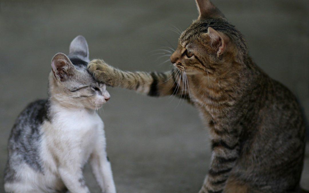 Waarom hebben katten plots toch ruzie?