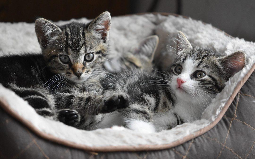 Het opvoeden van kittens