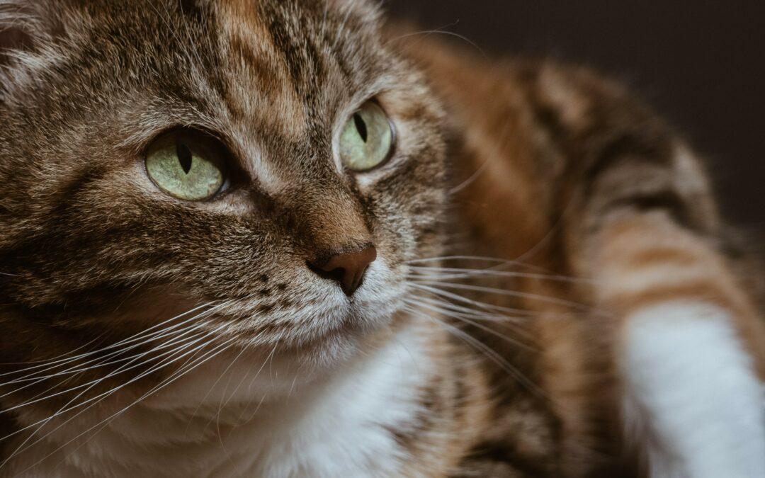 Wat te doen als je kat oneetbare dingen eet of erop kauwt?