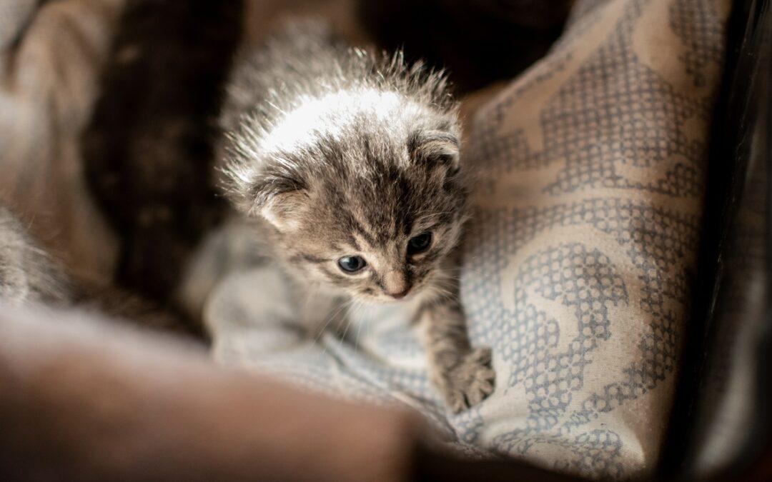 Kittenverzorging & Gastgezin