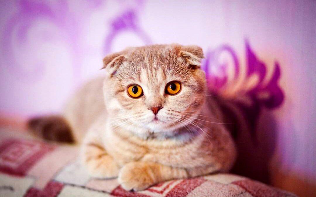 Katten met gevouwen oren